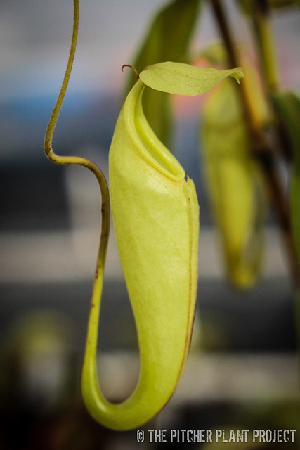 Nepenthes maxima hybrid