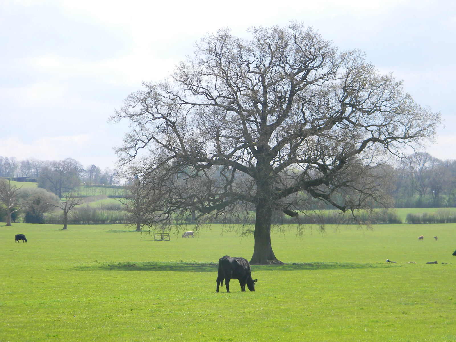 Cow with Tree Hurst Green to Wetherham