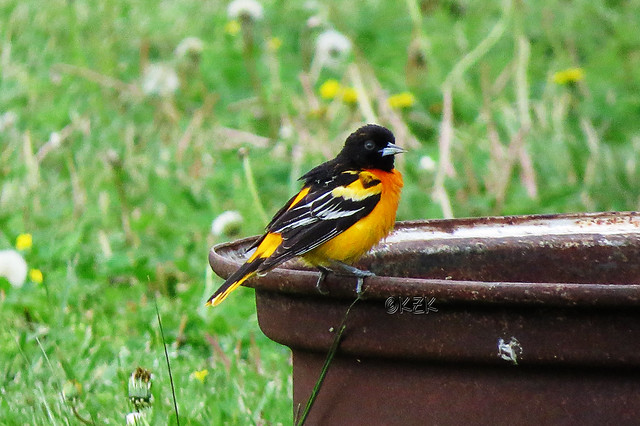 IMG_3533BaltimoreOriole