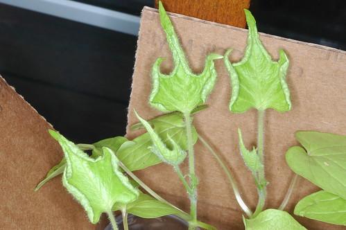 Ipomoea nil Q1099 leaf by Gerris2