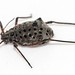 Tuberolachnus salignus: the Giant Willow aphid by afterforty‽ with a broken camera