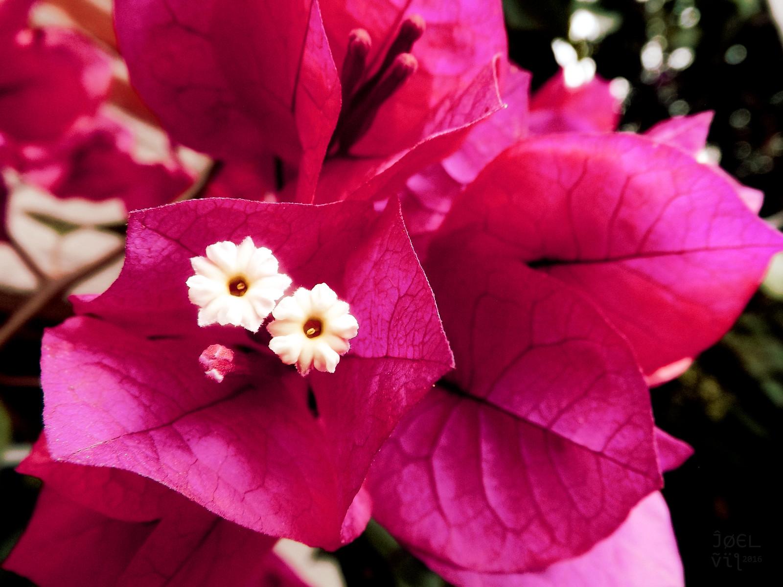 Dos flores de Buganvilla