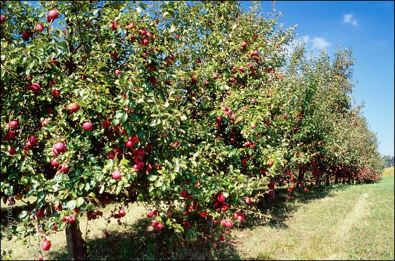 Apfelbäume am Bodensee