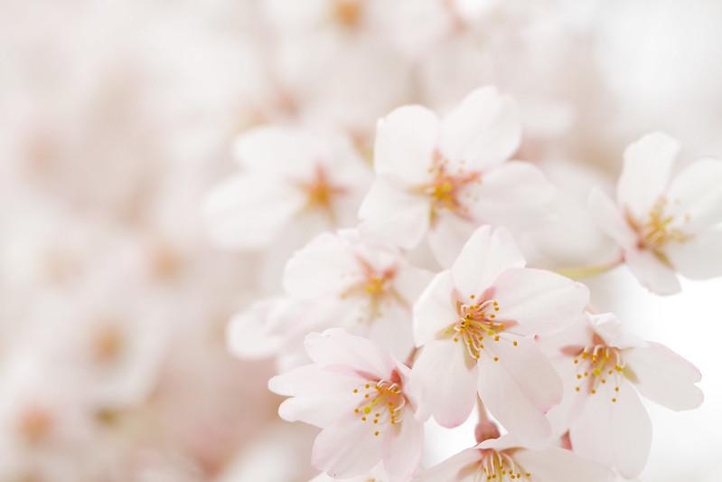 Sakura in Kyoto 6