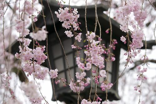 flower cherry spring shrine sony 桜 日本 sakura 神社 amount 春 三島 静岡 mishimataisha dslra900 α900 sal70300g sony70300g