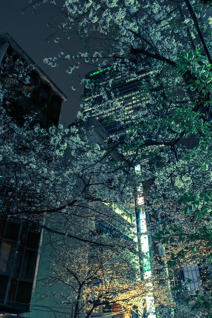 宵桜・街 (YOIZAKURA, City)