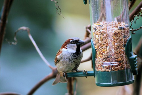 Sparrow on seeds