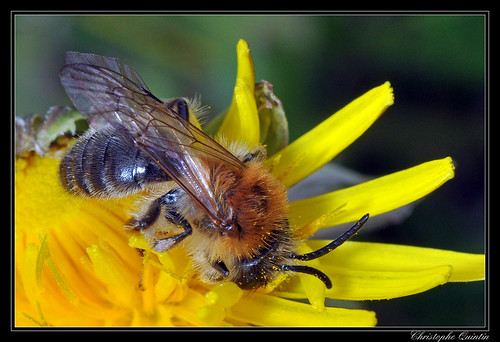 Andrena nitida mâle
