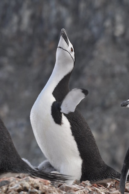 Diva No poles Chinstrap Penguin (Pygoscelis antarcticus) Orne Harbour