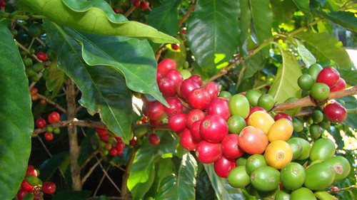 Coffee ripens on a bush. Photo credit Edwin Mas.