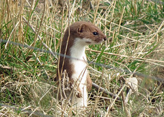 Stoat - Mustela erminea
