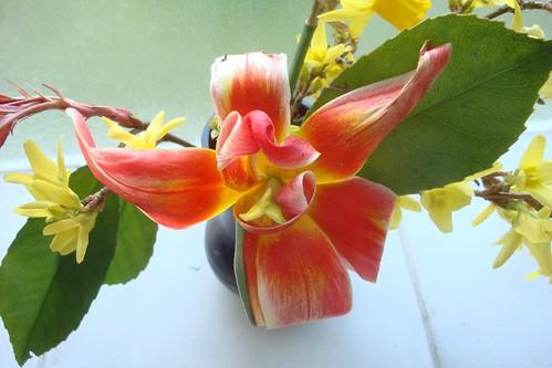 Tulipe width=