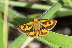 Hesperiidae