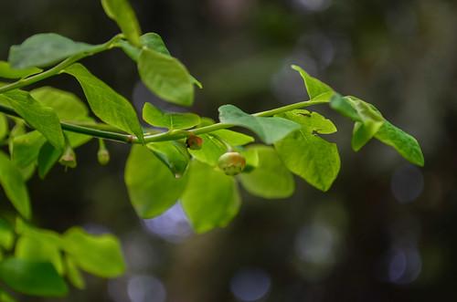 <p><i>Vaccinium parvifolium</i>, Ericaceae<br /> Camosun Bog, Vancouver, British Columbia, Canada<br /> Nikon D5100, 18-55 mm f/3.5-5.6<br /> April 13, 2013</p>