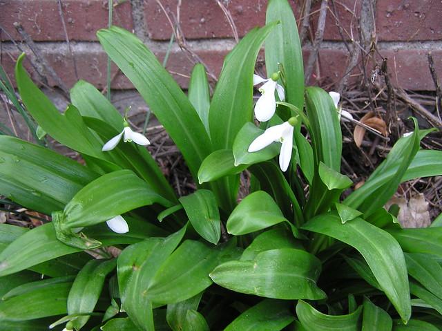 Galanthus plicatus (?)