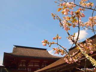Cherry blossoms and shrine