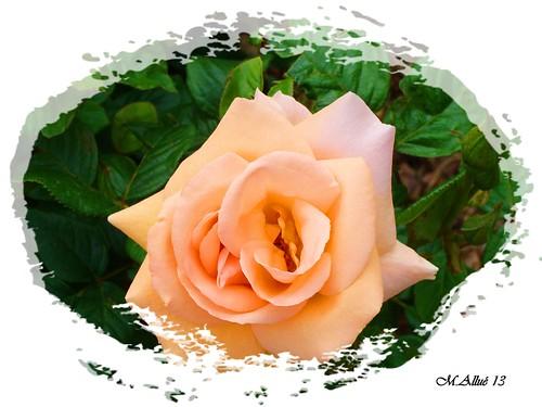 Rosa by Miguel Allué Aguilar