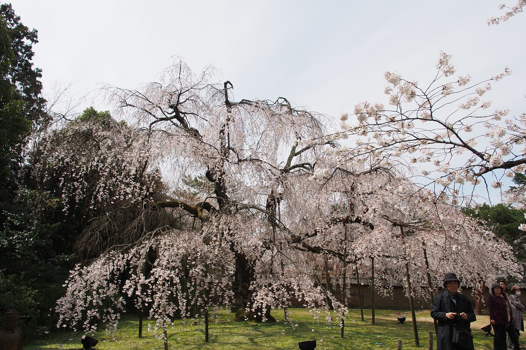 醍醐寺 櫻花