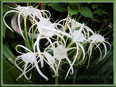 Hymenocallis caribaea (Caribbean Spiderlily, Spider Lily, White Lily) in our inner garden border