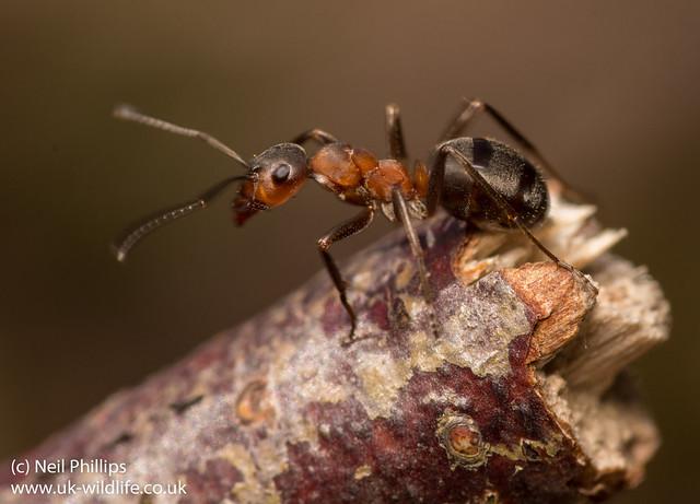 wood ant Formica rufa-3