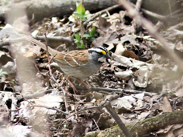 White-throated Sparrow 20130430