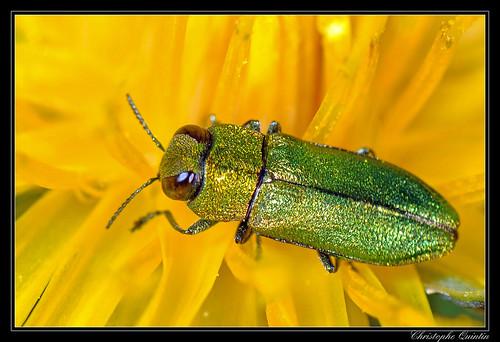 Anthaxia nitidula mâle