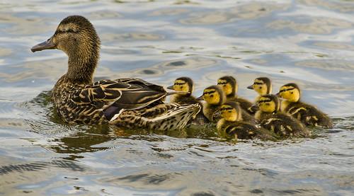 Brockholes ducklings