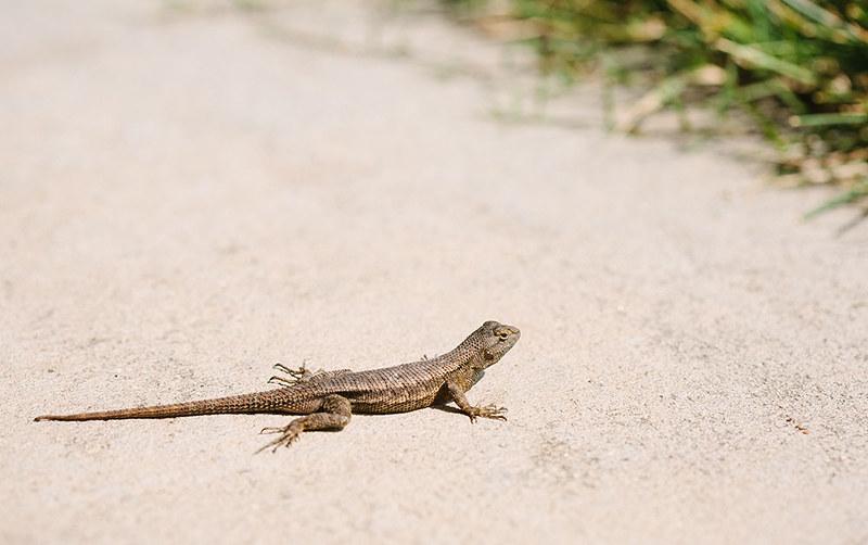 lizard_1_web