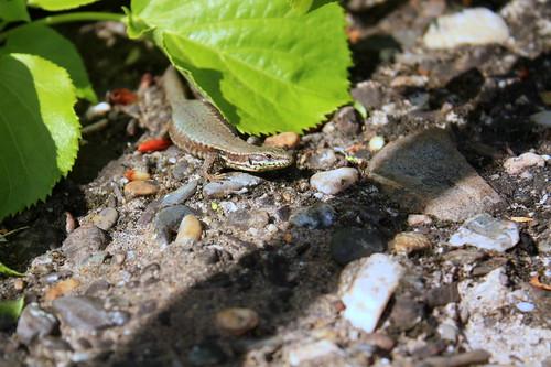 zonnende salamander