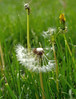 Dandelion Photo by PhotoPieces
