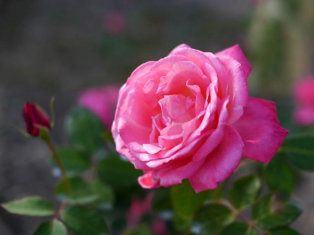 Photo:Rose, Stéphanie de Monaco, バラ, ステファニー ドゥ モナコ, By T.Kiya