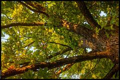 An Oak Tree in Afternoon Sun
