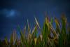 Corn Thunderstorm