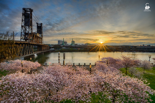 bridge pink sunrise portland cherry spring blossom bloon