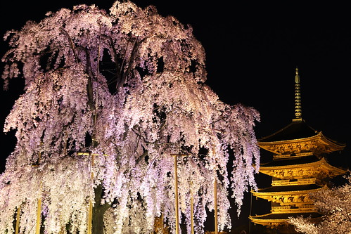 light flower nature japan night cherry temple pagoda kyoto 京都 桜 日本 sakura lightup 夜景 toji 東寺 五重塔 ライトアップ シダレザクラ