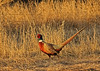 Wayne County's Pheasant King