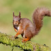 Red squirrel by Chas Moonie-Wild Photography