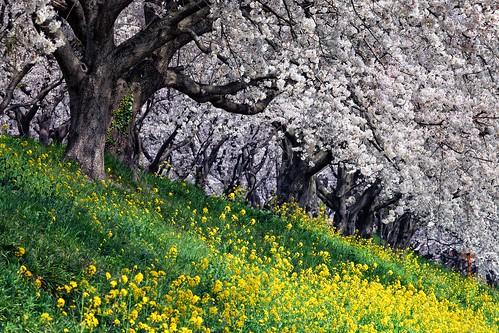 trees nature japan canon cherry landscape eos spring blossoms 桜 日本 saitama yoshimi 埼玉県 canonef70200mmf28l 5dmarkii 吉見町 さくら堤公園 chibitomu