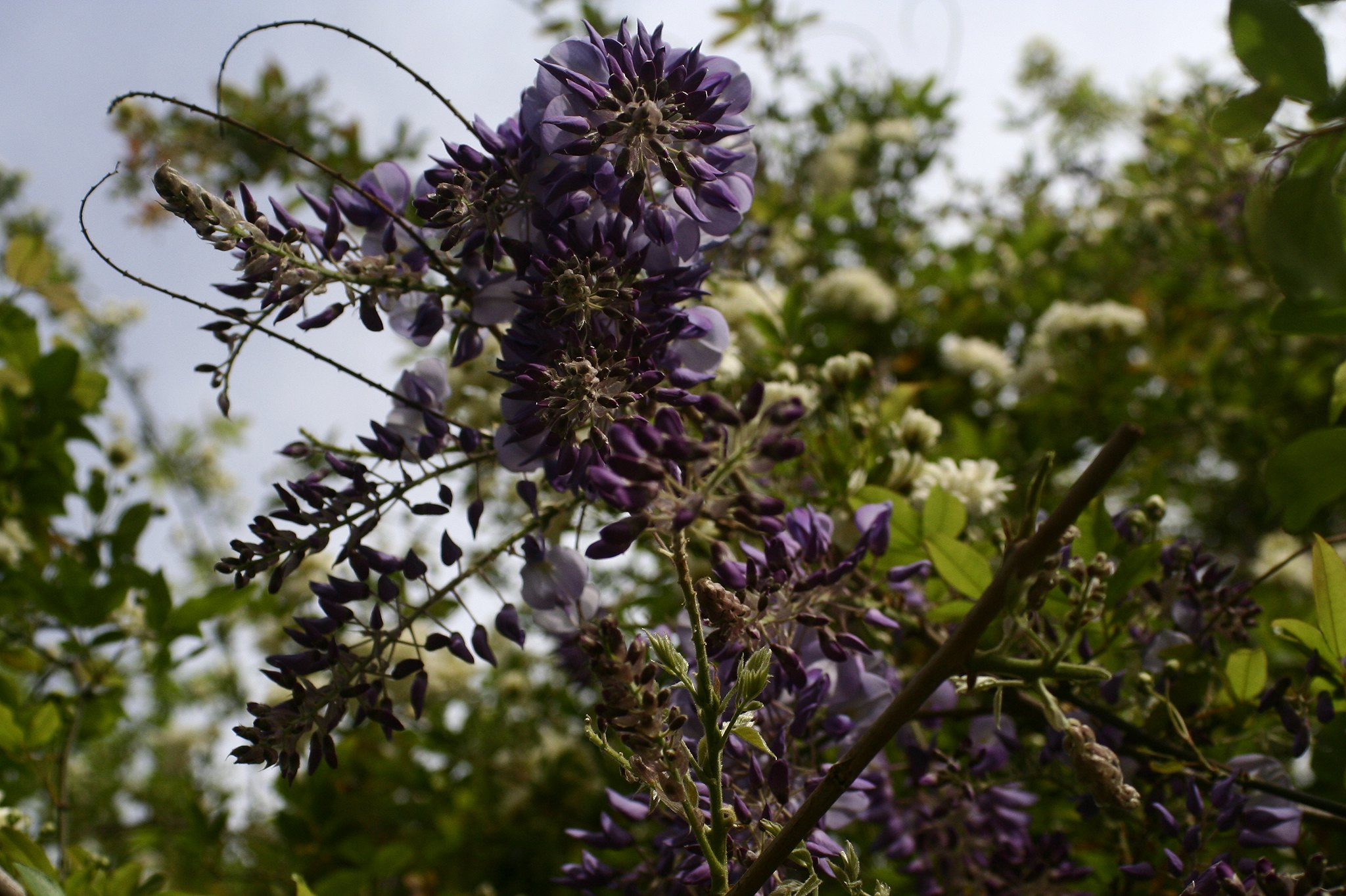 The start of wisteria season