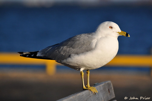 Ring-billed Gull...soaking up the sun by John Prior 55