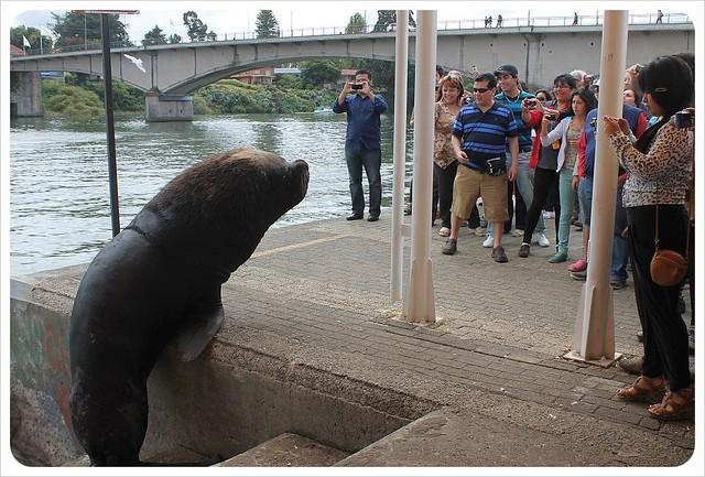 valdivia sea lion attack