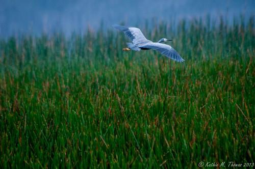 White faced Grey Heron