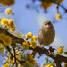 Bushtit in Gold Fuzzy Tree by Icybacon