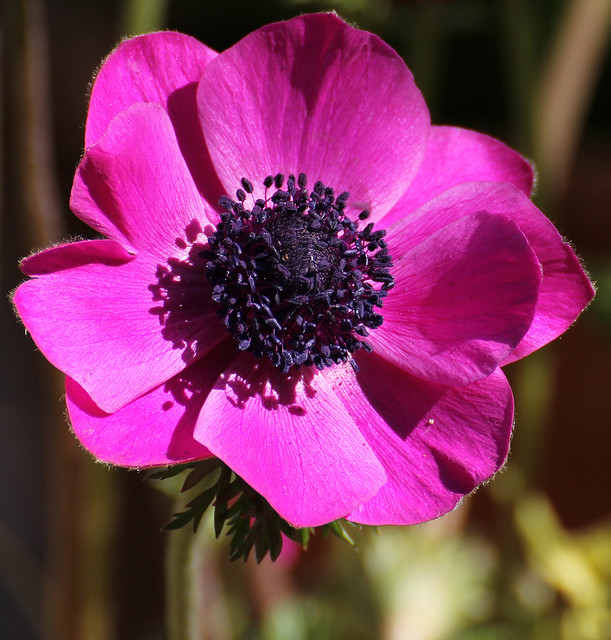 anemone coronaria sylphide flickr photo sharing. Black Bedroom Furniture Sets. Home Design Ideas
