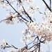 Cherry Blossom Pile
