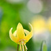 Yellow dogtooth violet by tanakawho