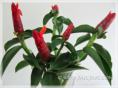 Costus woodsonii (Red Button Ginger, Scarlet Spiral Flag, Red Cane) as cut flowers in a vase