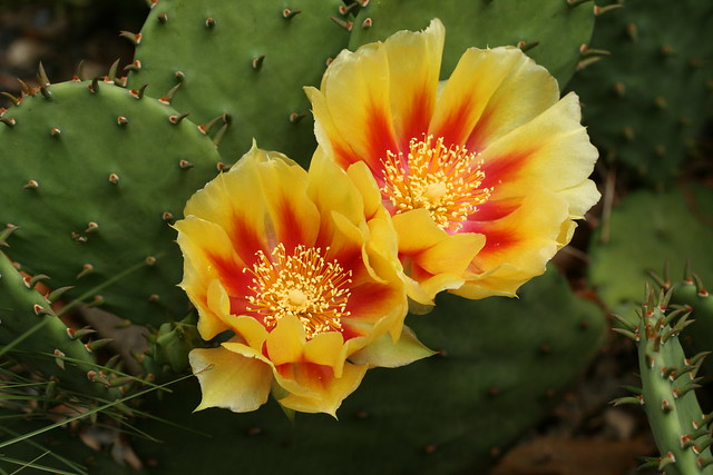 Opuntia humifusa, commonly known as Eastern prickly-pear. Vulnerable in New York State. Photo by  Uli Lorimer.