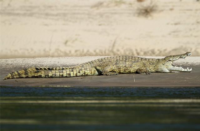 Crocodylus niloticus (Nile Crocodile)