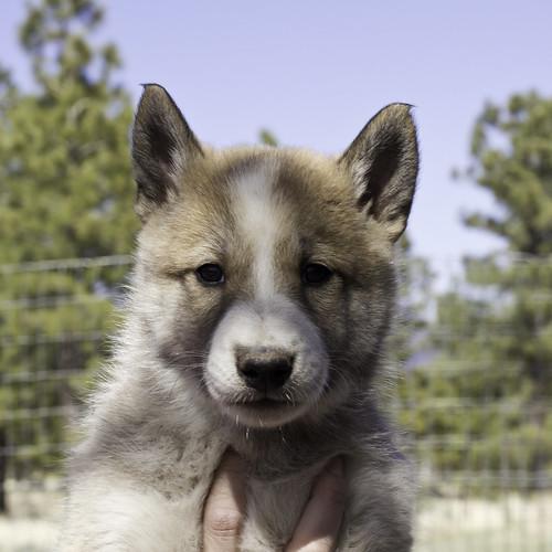 Ike-Kilbe-Pup1-Male(Day 40)-1